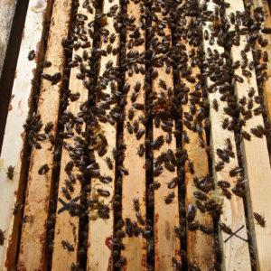 Vyzimovaná Včelstva Na 10 Rámcích 448×232 Mm